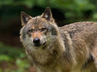 Klöckner fordert: Wölfe in einigen Regionen gezielt töten